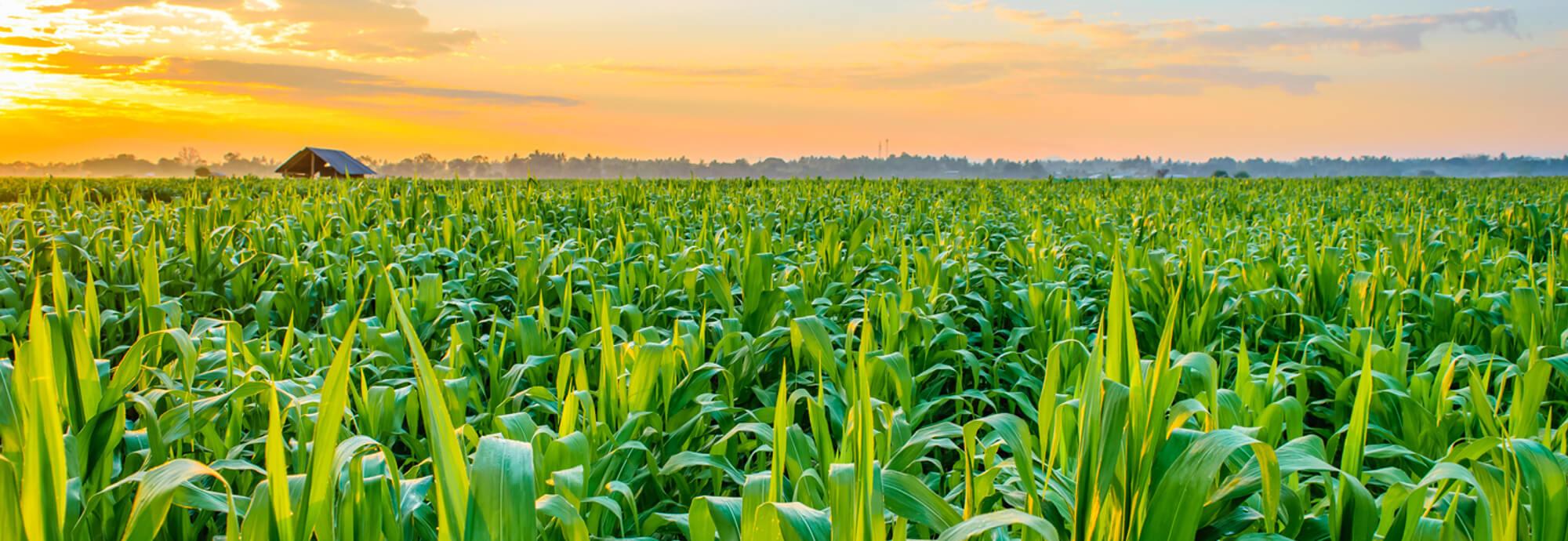 kukoricas-bannerhez